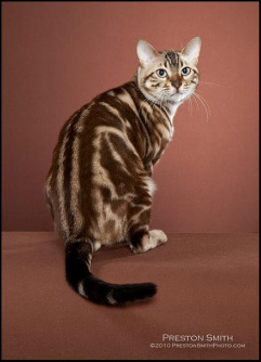 Snow Remarkable Bengal Kittens For Sale In Arizona