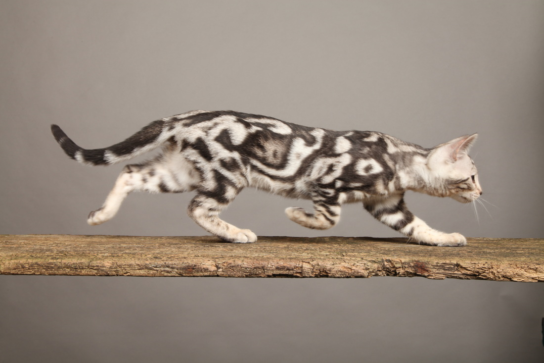 Silver (Black) - Remarkable Bengal Kittens for sale in